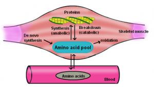 protein-anabolism