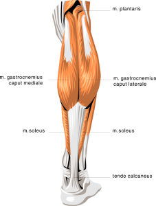 anatomy_calf_muscles_t